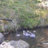 Gänsepaar im Badeteich