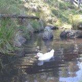 Einsame Ente im Badeteich