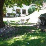 Gänse Truthahn und Hühner beim Schatten