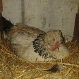 Henne beim Eierlegen